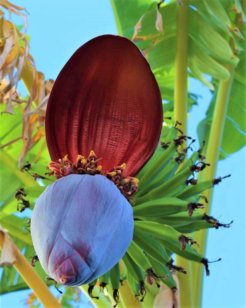 banane plantain en andalousie